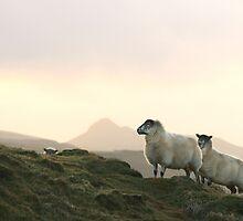 2 Sheep + 1 Peeking Over by Lucy Hollis