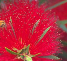 Red callistemon flower Sticker