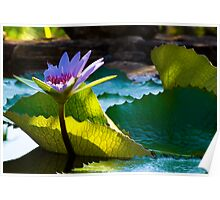 Sun Kissed Water Lily Poster