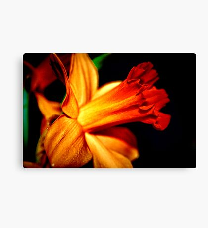Daffodill Bloom Canvas Print