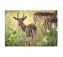 Impala grazing in the early evening. Art Print