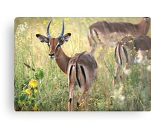 Impala grazing in the early evening. Metal Print