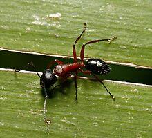 Sugar Ant by Colin  Ewington