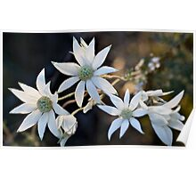 Wildflowers of the Blue Mountains - Sydney Flannel Flower Poster