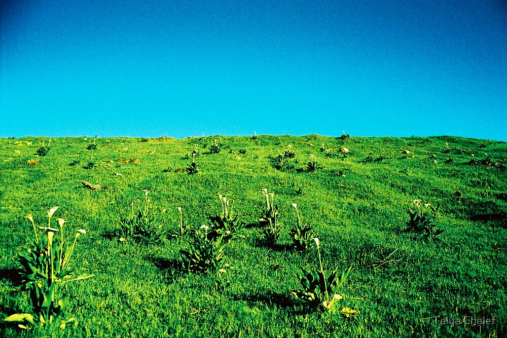 a field of lilies by Talya Chalef