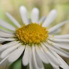 Close up Daisy by camohamo