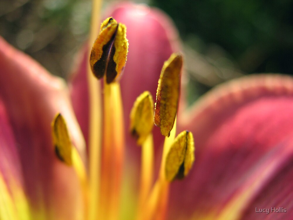 Daylily Anthers by Lucy Hollis