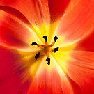 Fiery Tulip by Rachael Talibart
