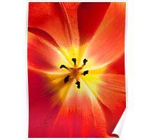 Fiery Tulip Poster