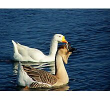 mother geese Photographic Print