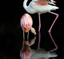 Flamingos. by Aussiebluey