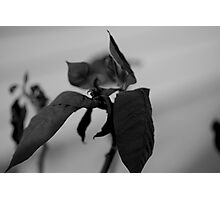 Wilted Photographic Print