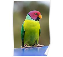 SLY the Plum Faced Parrot Poster
