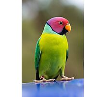 SLY the Plum Faced Parrot Photographic Print