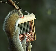 Squirrel working for peanuts! by EileenLangsley