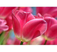 Pink Tulip Photographic Print
