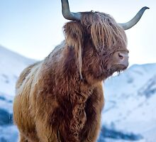 Hairy Coo by Justin Foulkes