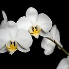 White orchid on black by kevomanno