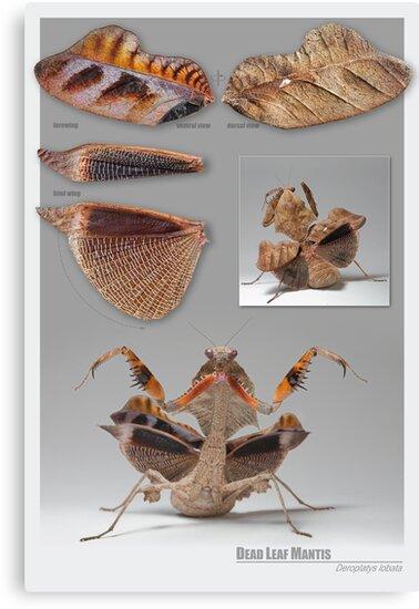 Dead-Leaf Mantis Reference Chart v.0.0.1 by blepharopsis