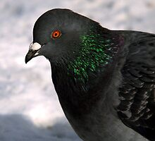 Rock Pigeon - Red Eye by Ryan Houston