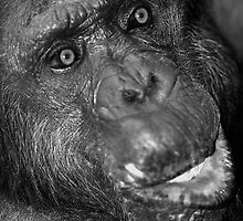 The Elder Chimpanzee by kitlew