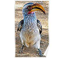 Hornbill, Kruger National Park, South Africa Poster