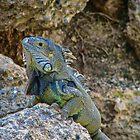 'Tis a Reptilian life in Aruba. by Deborah V Townsend