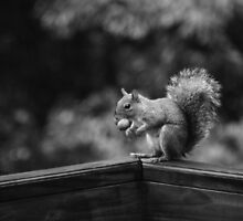 Squirrel B&W by Bahoke