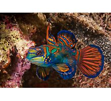 Mandarin Fish, Wakatobi National Park, Indonesia Photographic Print