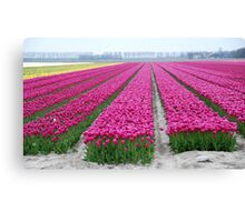 Dutch tulip field Canvas Print
