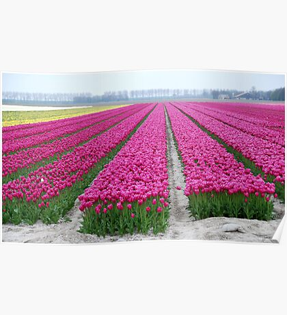Dutch tulip field Poster