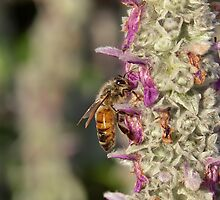 Bee on Lavender 2 by Ross Jardine