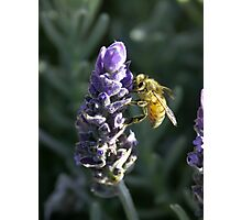 Lavender Bee 3 Photographic Print