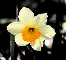 Daffodil by Leigh Jardine