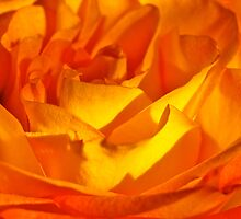 peach rose by Jessica Karran