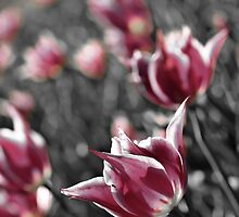 Pink Tulips by Ross Jardine