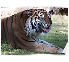 ' Doin the Tiger Haka ' Poster