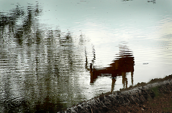 Impala reflection by Sharon Bishop