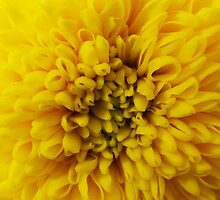 Sunny Chrysanthamun  by knightingail