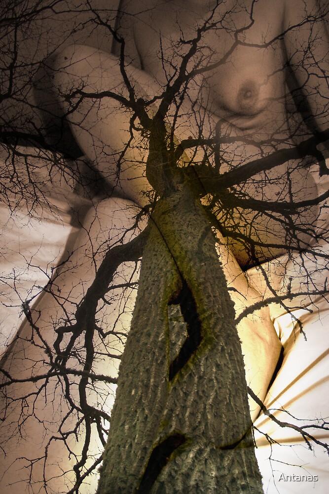 The Oak Story by Antanas
