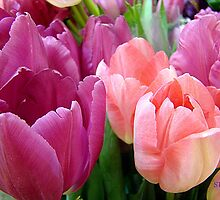 Tulip Time by Susan Bergstrom