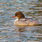 Goosander by M.S. Photography/Art