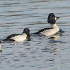 Goldeneye Ducks by M.S. Photography/Art