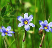 Blue -Eyed Grass photo by nerdywithnature