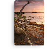 Sargasso Weed and Buttonwood at Sunrise with Sailboat behind Canvas Print