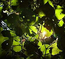 Backlit leaves by dlscape