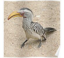Southern Yellow-billed Hornbill  (I) Poster