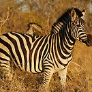 Zebra in afternoon sunlight by Bernhard Bekker