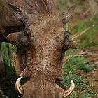 Warthog feeding  by Bernhard Bekker
