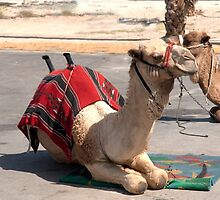 Israel, Dead Sea Camel ride for tourists  by PhotoStock-Isra